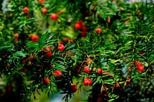 Taks med røde bær, bærrene er frø, som indhyllet i en rød frøkappe. Giftig.